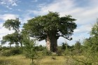 /blog/images/photos/Afrika2010/02_Botswana/02_Baobabs/img008.TN__.jpg